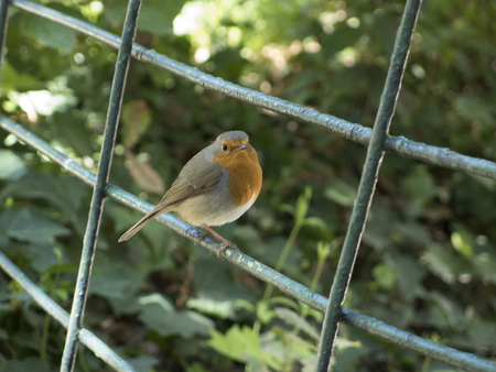 birdlife: Little robin bird on a fence