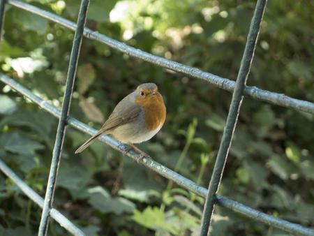 robin bird: Little robin bird on a fence