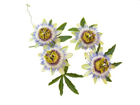 Passiflora (passion flower) insolated in a white background Stock Photo