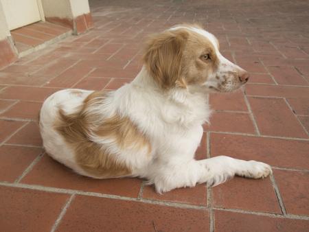 Spaniel breton (Brittany spaniel) dog