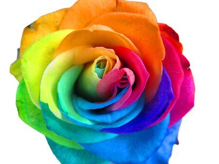Multicolored rainbow rose Imagens