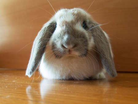 Pet bunny. Long eared mini lop belier