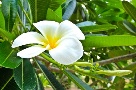 frangipani close up