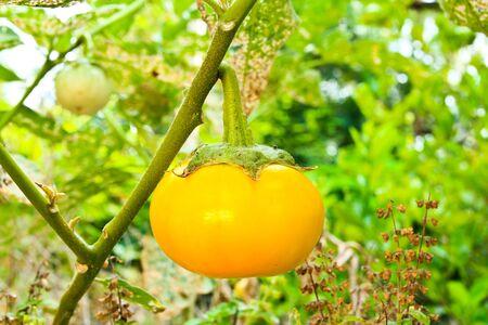 concoct: yellow eggplant on tree Stock Photo