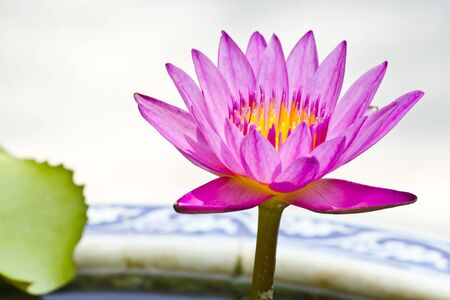 the pink lotus in basin close up