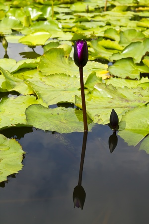 lotus in pond Stock Photo