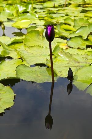 lotus in pond Stock Photo