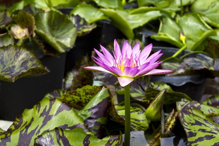 lotus blossom in pond Stock Photo