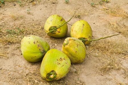 coconut on ground