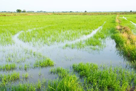 rice field , an agriculturist in thailand