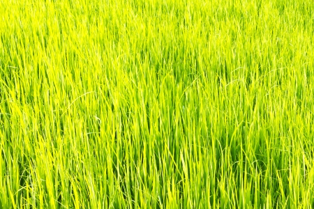 green rice field , an agriculturist in thailand