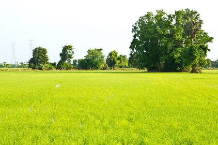 green rice field , an agriculturist in thailand Editorial
