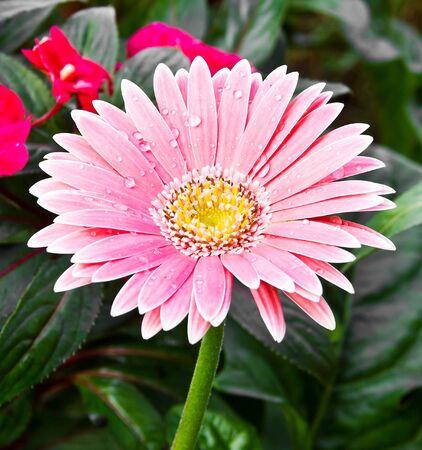 Close up of Gerbera flower