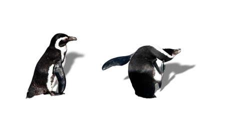 Magellanic penguin photo