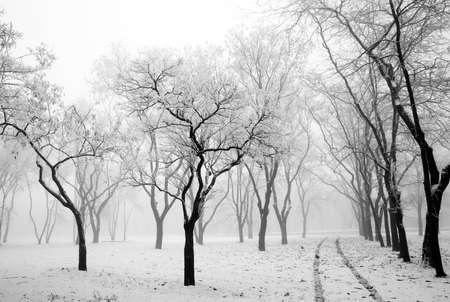 arboles blanco y negro: Primera nieve Foto de archivo