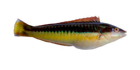 labridae: The Mediterranean rainbow wrasse, Coris julis, is a small, colourful fish in the family Labridae  It can be found in the Mediterranean Sea and in the northeast Atlantic Ocean