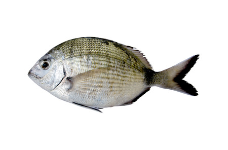 the dorada:  Diplodus Sargus white seabream fish