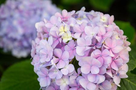 Гортензии цветы