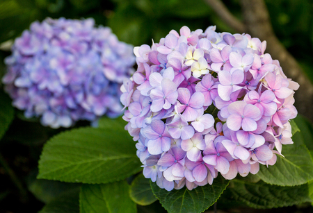 Pink or violet hydrangeas flowers