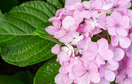 Close up of hydrangeas flowers