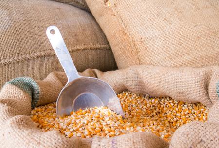 Yellow corn grain in a burlap bag with an aluminum scoop Stock Photo