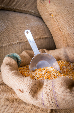 Yellow corn grain in a burlap bag with an aluminum scoop 免版税图像