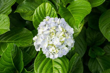 Hydrangeas flowers Banco de Imagens