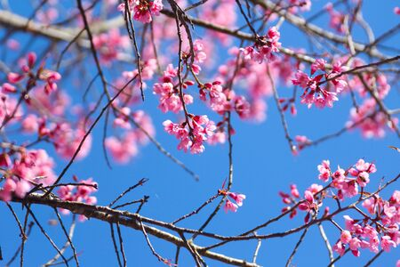 Wild Himalayan Cherry flowers or Sakura across blue sky