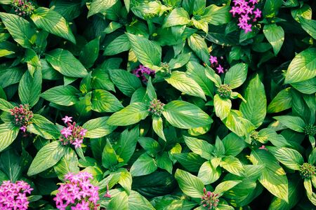 Nature background flat lay of pink egyptian star cluster flowers with green leaves Фото со стока
