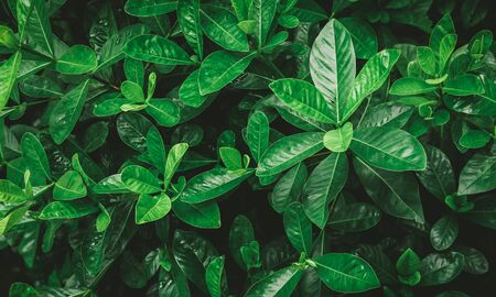 Natural background of green leaves