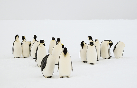 unconcerned: A group of emperor penguens grooming their feathers in an unconcerned manner