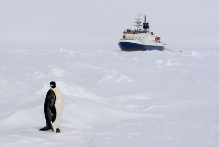 oceanography: An emperor penguin standing infront of a polar ice breaker research vessel