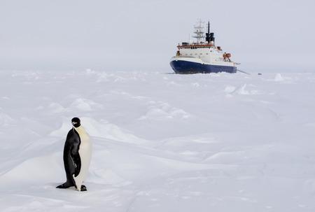 polar life: An emperor penguin standing infront of a polar ice breaker research vessel
