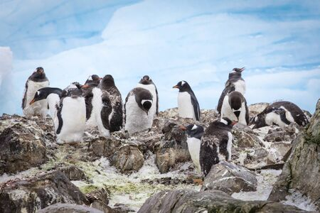 A group of gentoo penguins at Western Antarctic Peninsula penguins at Western Antarctic Peninsula penguins at Western Antarctic Peninsula Stock Photo