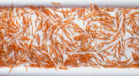 A mid-water trawl catch of Antarctic Krill, Euphausia superba during a scientific expedition Imagens