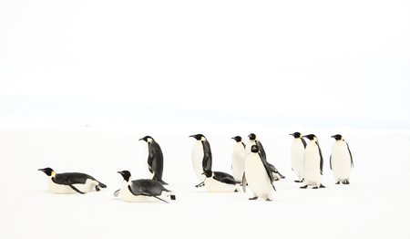 A group of emperor penguins moving curiously Stock Photo
