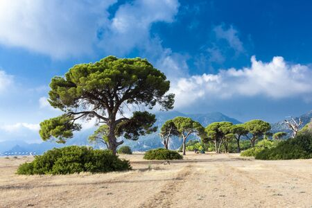 Pinus pinea trees at Cirali Beach, Antalya 免版税图像