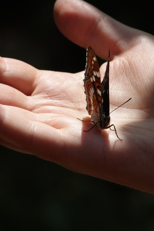 Fearless Butterfly sitting on a mans hand photo