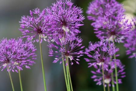 flores fucsia: Flor de cebolla morada Foto de archivo