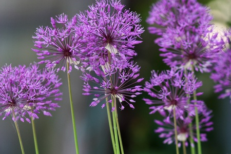 group of plants: Purple onion blossom