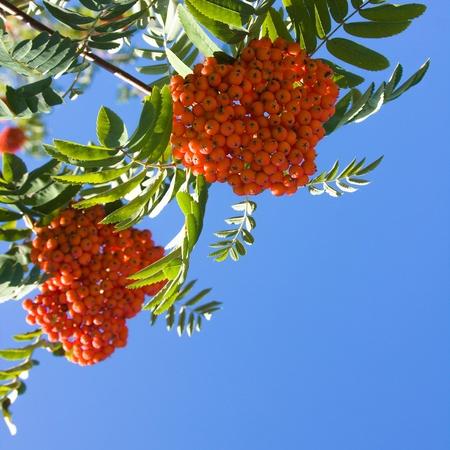 sorb: Red berries of rowan