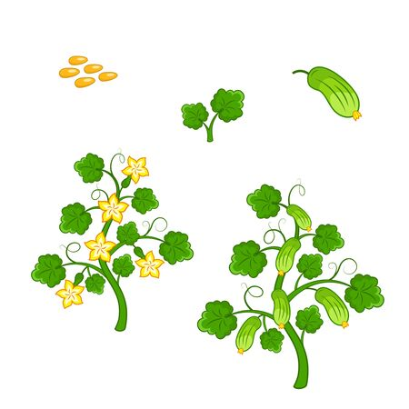 cucumber: Cucumber plant with seeds and flowers