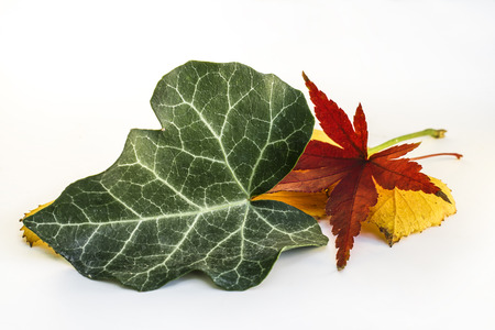 Green Leaf and Dry Leaf of Japanese Maple and other Leaves