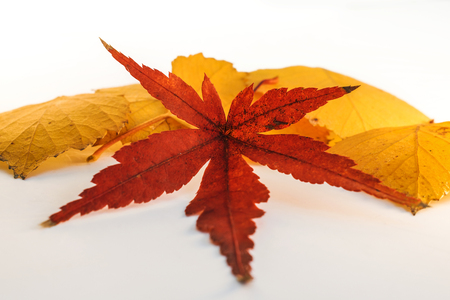 Leaf of Japanese Maple with Yellow Leaves in Background