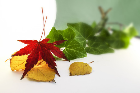 Leaf of Japanese Maple with Yellow and Green Leaves in Background Stock Photo