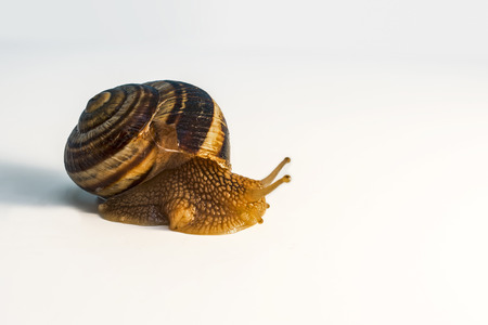 Snail with mollusk in close up view on white background Stock Photo