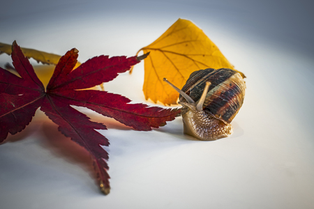 Snail between Red Leaf of Japanese Maple and Dry Yellow Leaves