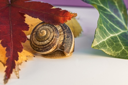 Snail between Red Leaf of Japanese Maple, Dry Yellow and Green Leaves Stock Photo
