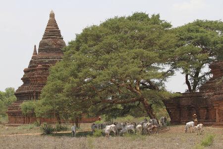 husbandry: husbandry and pagoda at bagan,myanmar