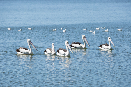 pelicans: group of pelicans swimming Stock Photo